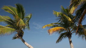 Top of palms on sky background. Top of palms on blue sky background stock video footage