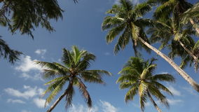 Top of palms on sky background. Top of palms on blue sky background stock footage