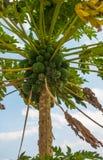 Exotic Papaya tree with Papaya fruits in Kenya Stock Photography
