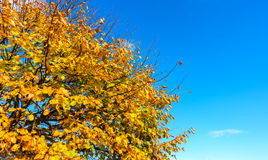 Top Part of an Autumn Tree with Blue Sky Stock Photo