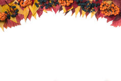 The top part of the frame  autumn leaves with rowan berries and wild grapes isolated on white background Stock Images