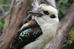 Kookaburra perched in a tree Royalty Free Stock Image