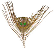 Top part of peacock feather Stock Photography
