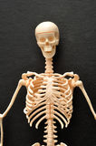 The top part of a skeleton. On a black background Royalty Free Stock Photo