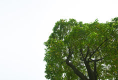 Top part of tree with copy space Royalty Free Stock Photo