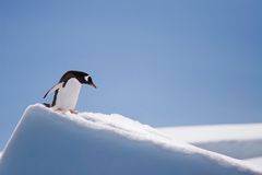 Top penguin. Penguin climbing down a snow hill