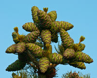 Top Pine Cones Stock Image