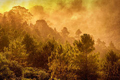 Top of Pine forest in fog. Royalty Free Stock Photography