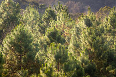 Top of Pine forest in fog. Stock Photos