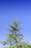The top of pine thee. Royalty Free Stock Images