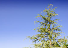 The top of pine thee. Stock Photo