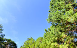 The top of pine tree Stock Images