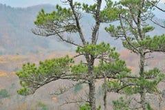Top of pine 1 Stock Photo