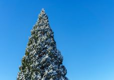 Top of pine tree covered in snow isolated on blue sky at sunny day. Top of pine tree covered in snow isolated on blue sky at sunny day Stock Photos