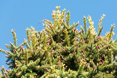 Top of a pine tree growing in Spring Stock Photos