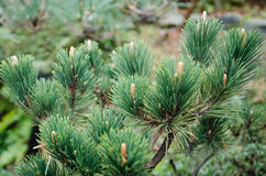 The top of pine tree Royalty Free Stock Image