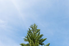 Top of the pine tree on sky background. Copy space Stock Photos