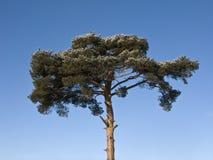 Top of pine tree with snow Stock Image