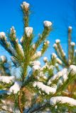 Top of pine tree with snow Royalty Free Stock Photos
