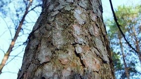 The top of a pine tree. stock video footage