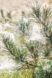 Top of a pine tree which has spiderweb between the needles Stock Photography