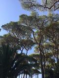 Top of pine trees Stock Photo