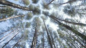 Top of the pine trees. Top of the trees. View from the bottom stock video footage