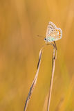 On the TOP - Polyommatus icarus (female) Stock Images