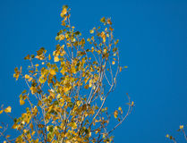 Top of poplar tree against the blue sky in autumn Royalty Free Stock Image