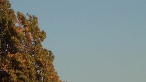 Top of Poplar Tree in Autumn stock video