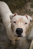 Top portrait of a white pitbull Royalty Free Stock Photos