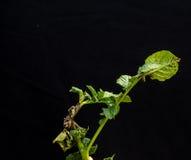 Late blight on potato. The Top of Potato plant with black background Dalat- LamDong- VietNam stock photography