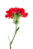 On top red carnations flower isolated Royalty Free Stock Photos