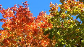 Top of red and green maple trees. Strong breeze blows through top of red and green maple trees stock footage