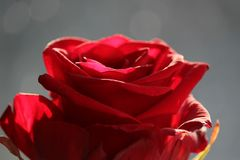 The top of a red rose Stock Images