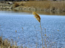 Top of a reed stalk Royalty Free Stock Photo
