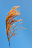 Top of reed stem opposite the blue sky Royalty Free Stock Image