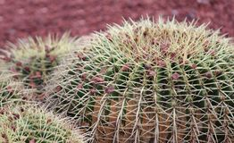 The top round barrel cactus royalty free stock photography