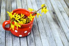Top shot, close up of fresh yellow flowers of forsythia, golden shower on wooden, rustic table background, red and white potted stock images