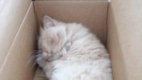 Top shot of persian cat sleeping face. Inside box stock video footage