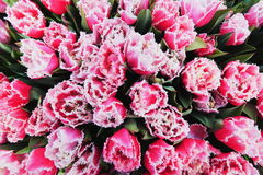 Top shot photo of pink tulips Stock Photo