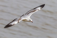 Top side of Brown-headed gull Stock Image