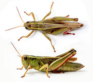 Top and side view of grasshopper Stock Photo