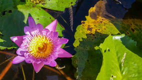 Top side view punk water lilly flower Stock Images