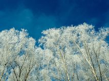 Snow-covered birch trees on blue sky background. The top of snow-covered birch trees on blue sky background Royalty Free Stock Images