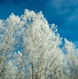 Snow-covered birch trees on blue sky background. The top of snow-covered birch trees on blue sky background Stock Photo