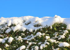 Top of snow covered bush with blue sky Royalty Free Stock Images