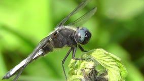 Top spot - Libellula fulva. Shaking head dragonfly stock footage