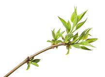 Top of springtime blooming twig royalty free stock photos