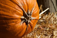Top Stem of a Pumpkin Straw Hay on its Side Stock Image